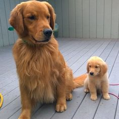 """""Here is a photo of Goose the Golden Retriever puppy and his grandpa, Willis. Goose hopes to grow up big and beautiful just like his grandpa. You can…"" #goldenretrieverpuppy"