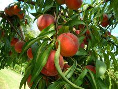 ¿Cuál es la mejor época para plantar árboles frutales?