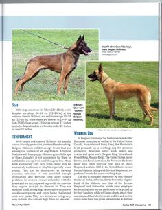 Cher Car Kennels has been breeding dogs for lives of significance and service since Our breeding stock is selected on the basis of sound temperament, longevity and health; and all are OFA certified. Belgian Malinois For Sale, Military Working Dogs, Belgian Shepherd, Schaefer, Dog Show, Animal Kingdom, Doggies, Dog Breeds, Funny Animals