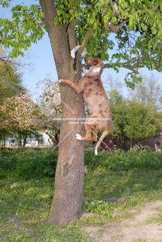 Catahoula leopard dog climbing tree to retrieve Beautiful Dogs, Animals Beautiful, Cute Animals, Hog Dog, Dog Cat, Dog Pictures, Animal Pictures, Catahoula Cur, Leopard Dog
