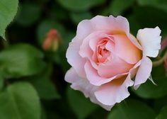 香りあり、色々な花色がその時々に出現する薔薇☆メアリー・マグダレン | 花と実と魔女と - 楽天ブログ