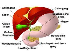 bauchspeicheldrüse-leber