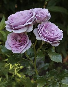 I really want a purple rose bush for the garden