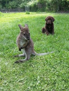 Wallaby and a puppy