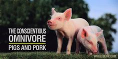 """The Conscientious Omnivore: Pork"" Pigs are smarter than your dog, but that's not the only reason to opt for quality pork."