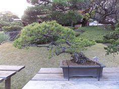 Littlelixie Bonsai Tree at Happo-en Garden Happo-en, Garden of 8 Views. Tokyo, Japan, 15th December 2014.