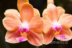 Orange Orchids photo by Terry Weaver