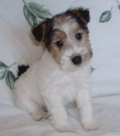 wire fox terriers