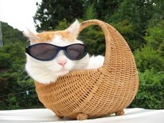 A real cool cat in a basket