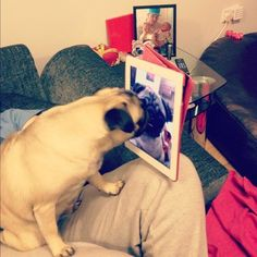 Pug skype - I love watching Zeke and Rocky facetime each other. Best thing ever!