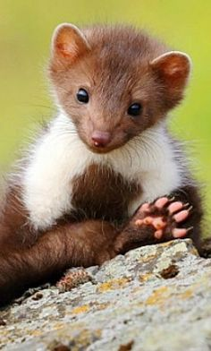 is this a pine martin or a weasel? Looks like a pine martin to me Cute Creatures, Beautiful Creatures, Animals Beautiful, Nature Animals, Animals And Pets, Wiesel Tier, Cute Baby Animals, Funny Animals, Animal Magic