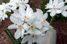 Tips for Growing Paperwhites Indoors. Need a break from the winter blues? Missing your garden blooms a little more each…
