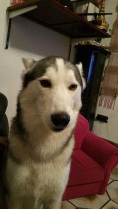 Tyler 18.11.2015 20:35 #huskys #siberian #schlittenhunde #husky #dogs #dog #hund #hunde #hundeliebe