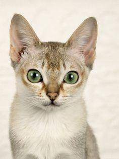 Head Portrait of Singapura Cat Premium Poster by Petra Wegner at Art.com