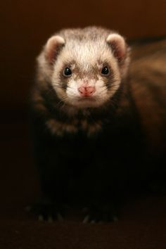 """Ferret, I want another one! The kids & I miss our """"Sly"""""""