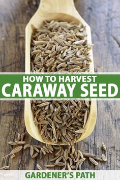 Aromatic caraway is not just another pretty face in the garden. Learn when and how to harvest its pungent seed with these instructions from Gardener's Path. Growing Herbs, Growing Vegetables, Gardening For Beginners, Gardening Tips, Dry Plants, Caraway Seeds, Beneficial Insects, Veg Garden, Medicinal Herbs