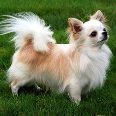 Породы собак.: Карликовая порода собак Чихуахуа