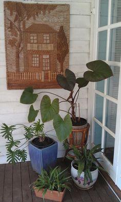 Philodendron, Homalomena and Aspidistra