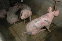 Tattooed pigs - yes, live tattooed pigs! By artist Wim Delvoye