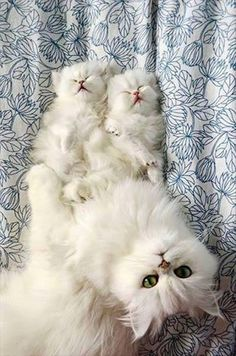 white cats - mom with baby kittens