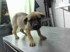 03/05/15-HOUSTON - HURRY!!!!!!!!!! PUPPY ALERT!! This DOG - ID#A426975  I am a female, brown and black Labrador Retriever mix.  The shelter staff think I am about 8 weeks old.  I have been at the shelter since Mar 04, 2015.
