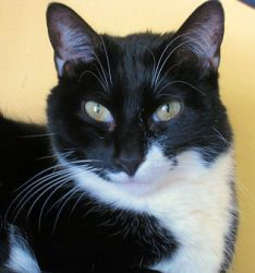 Adopt Sadey at Feline Rescue in St. Paul, MN. She is a quiet, laid back girl who's person died and now she needs a new home.