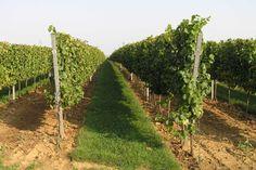 Slovakia, Modra - Vineyard