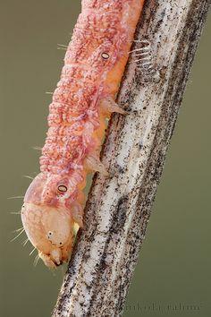 Pink moth caterpillar