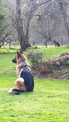 GSDs Always on guard and ready, love them