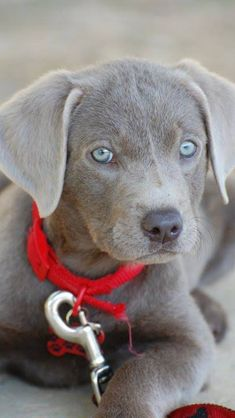 Baby blue love this dog