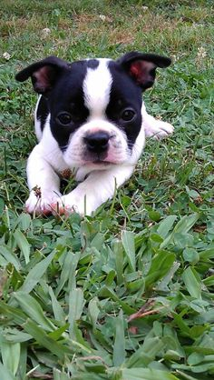 Our Newest Boston Terrier Puppy - Lexie [hubby named her after the dearly departed Lexie Grey on Grey's Anatomy.  LOLOL] #BostonTerrier #puppy