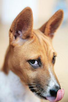 Basenji's always look like they're plotting their take over of the world.