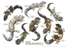 This illustration is outdated, check the new one at: http://society6.com/sandrasanz/genus-eublepharis_print