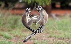 Lemurs masquerading as racoons?