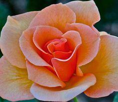 Online Contest - Orange Roses - Fine Art America