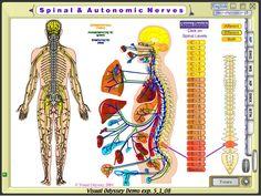 Spinal+Autonomic+Nerves.jpg (1024×770)