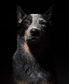 pic shows the strength, loyalty, and dedication of a Blue Heeler.This pic shows the strength, loyalty, and dedication of a Blue Heeler. Aussie Cattle Dog, Austrailian Cattle Dog, Cattle Dogs, Aussie Dogs, Perro Blue Heeler, Blue Heelers, Blue Heeler Dog, Beautiful Dogs, Animals Beautiful