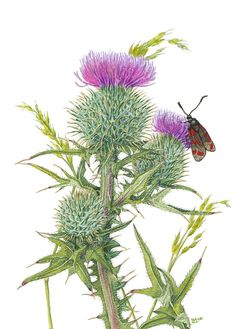 Scottish Spear Thistle (watercolour on paper) by Lynne Henderson Botanical Drawings, Botanical Illustration, Illustration Art, Botanical Flowers, Botanical Prints, Watercolor Flowers, Watercolor Art, Scotland National Flower, Illustration Botanique