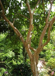 Heptacodium Miconioides Seven Sons Tree | This entry was posted in Nursery Store , Plants from Rutgers Nursery ...