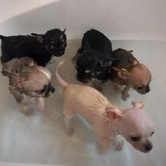 Chihuahua Puppy Bath Time - 8 weeks old today, time for a nice warm bath and pamper