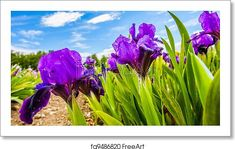 paintings of iris flowers - Yahoo Image Search Results Iris Flowers, Planting Flowers, Yahoo Images, Image Search, Plants, Travel, Paintings, Viajes, Paint
