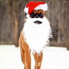 Santa Boxer.