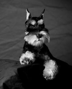 Black and Silver Miniature Schnauzer | Are there enough Schnauzer people to make a Schnauzer thread