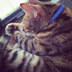 Afternoon naps aren't just for kitties...we should all take one! #naptime  #sleepykitty #thursday #weekday #isworkoveryet #ladybrennaoffairfax #cat #cats #catsofinstagram #catsagram #catsofworld #kitty #katzenworldblog #cats_of_instagram #catlover #bengal #bengalcat #bengalsofinstagram #bengal_cats #faithhopeloveandlucksurvivedespiteawhiskeredaccomplice #vais4bloggers #vafoodie #foodblog #foodblogger #virginia