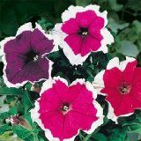 The lovely, white-ruffled, pink and purple flowers of Petunia Multiflora F2 Picotee will draw in many hummingbirds.