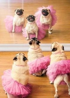 photo: pugs in pink tutus do a stare down with themselves ... So Much. Cuteness!