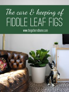 The Care & Keeping of Fiddle Leaf Figs via The Gathered Home