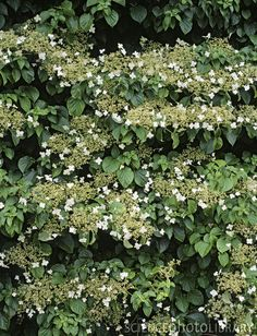 Family Hydrangeaceae; Genus Hydrangea; Species anomala subsp. petiolaris; Climbing Hydrangea Climbing Hydrangea, Vines, Herbs, Gardening, Flowers, Plants, Garten, Florals, Herb
