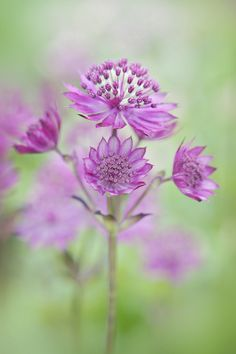 Astrantia major 'Claret' by Jacky Parker