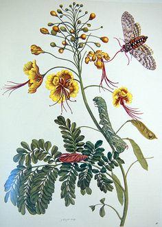 Maria Sibylla Merian (1647-1717) - uit: Metamorphosis insectorum Surinamensium, afbeelding XLV. 1705  Caesalpinia pulcherrima